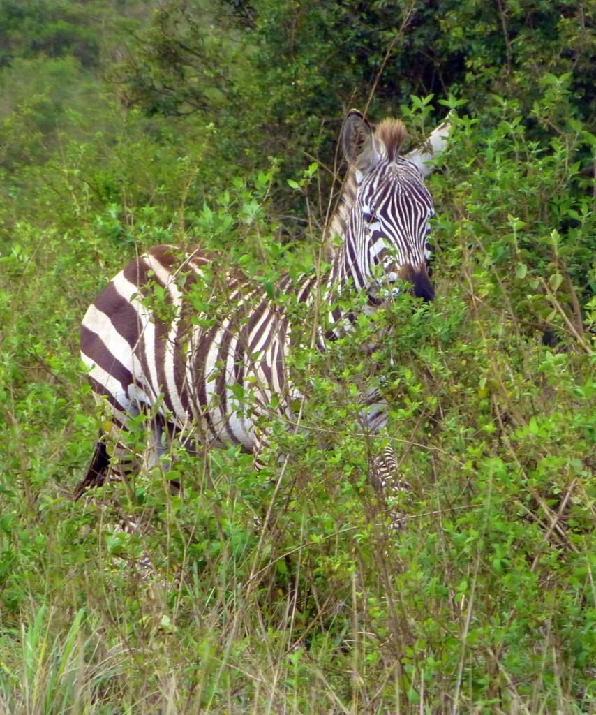 kenya gamedrive zebra