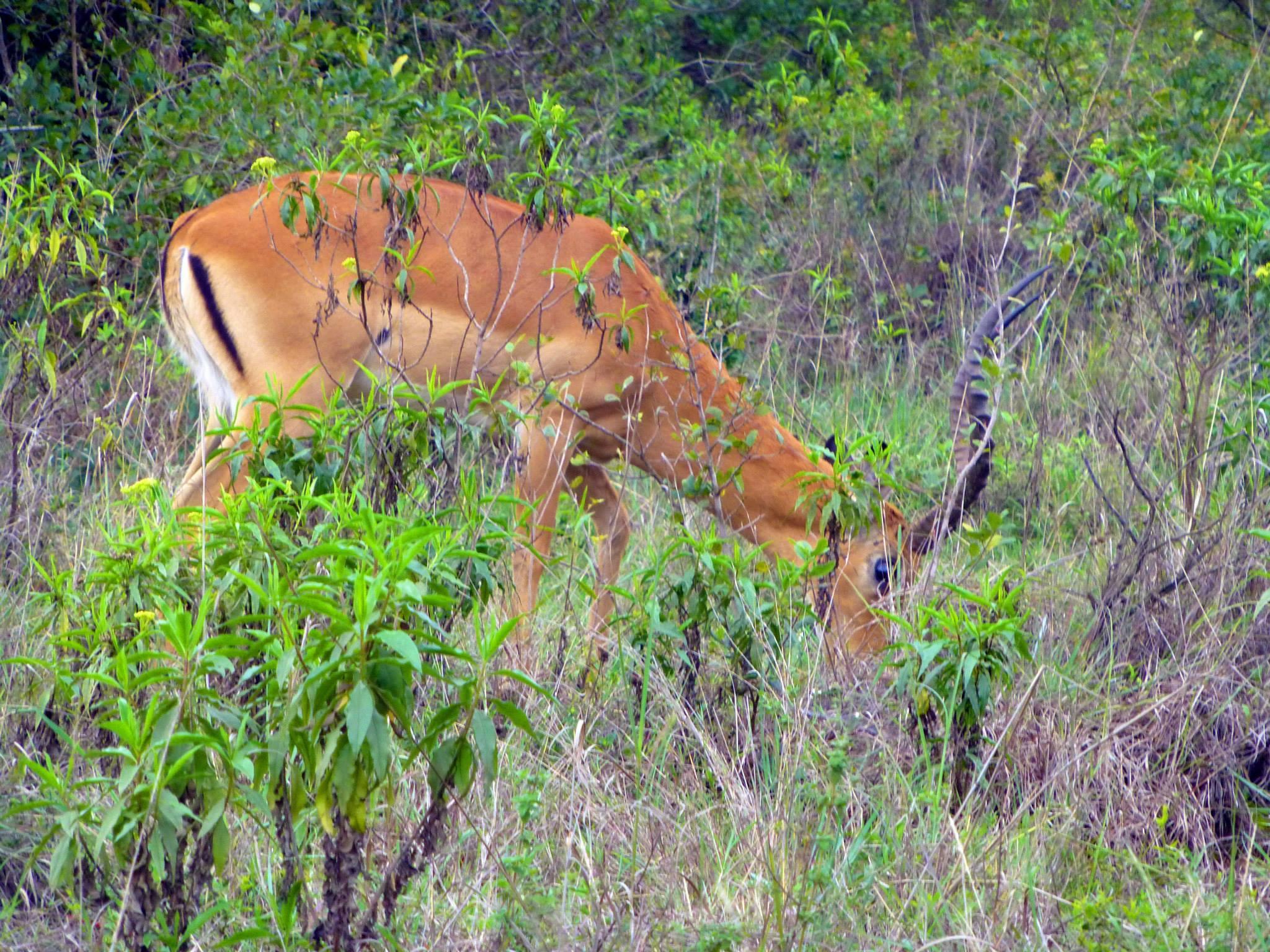 kenya safari gazelle
