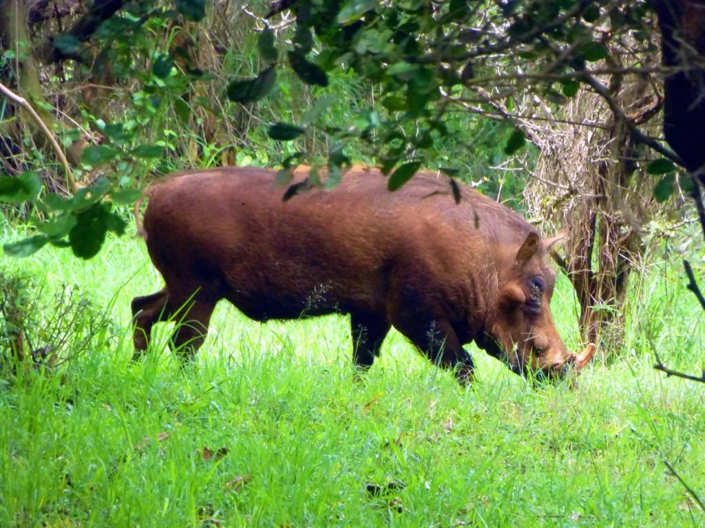 kenya safari warthog